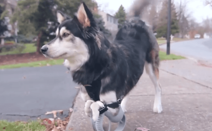 Derby the dog with his prosthetic legs